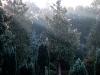 24,træer i morgenlys